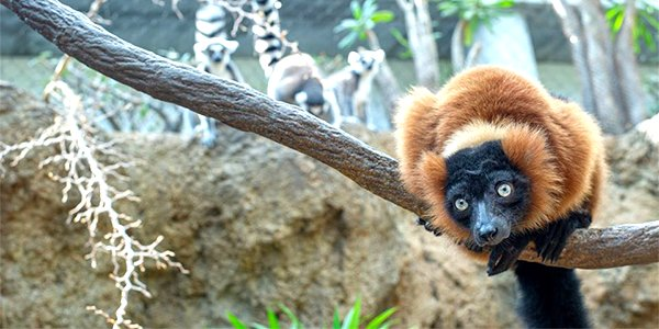 Red-Ruffed Lemurs.png