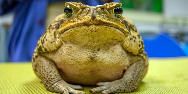 Marine Toad.png