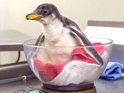 Penguin chick.png