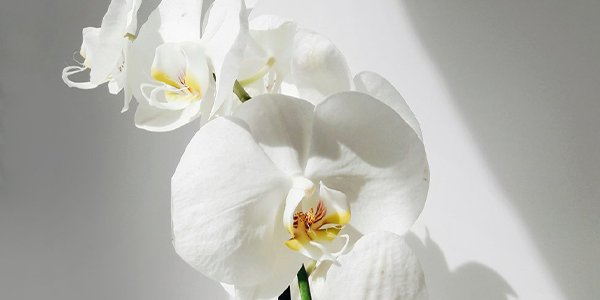Caring for an Orchid.png