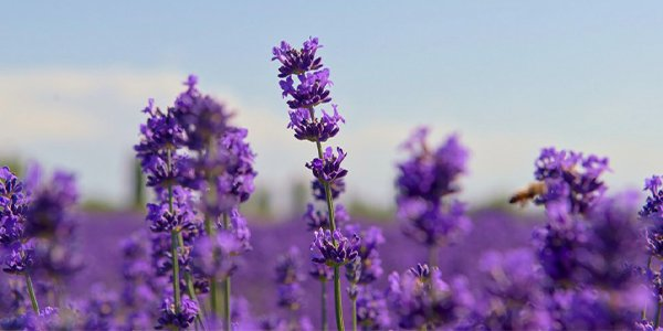 All About Lavender.png