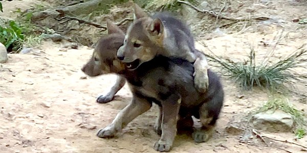 wolf pups 1.png