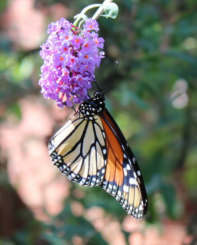 The Mystery and Magic of Monarchs